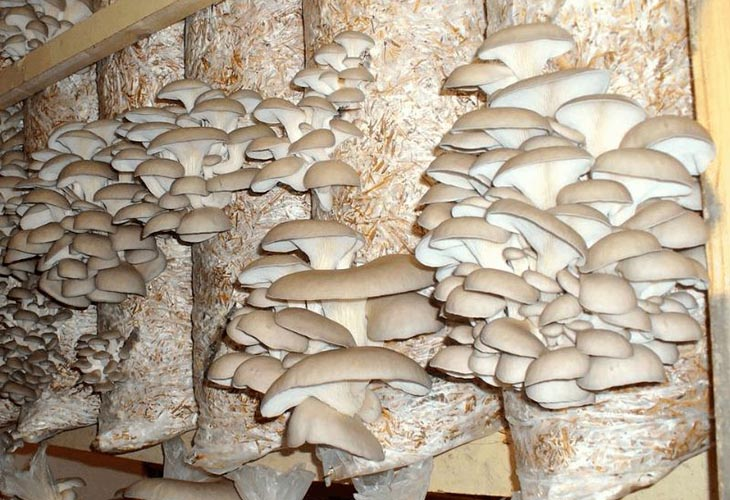 Выращивание грибов в опилках