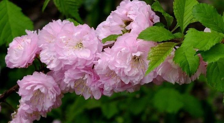 Кустарник с розовыми цветами