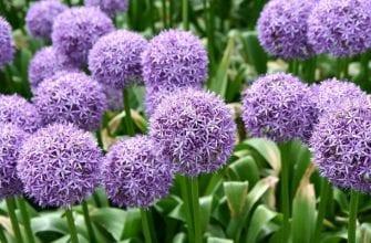 Цветок, похожий на лук