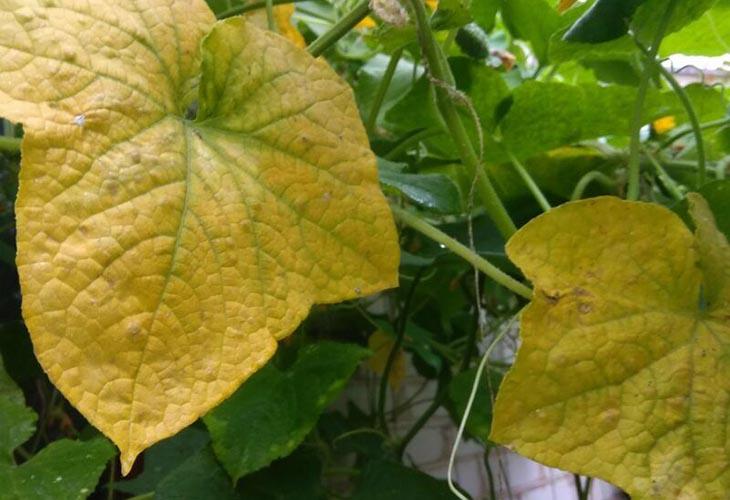 Удаление старой листвы огурцов