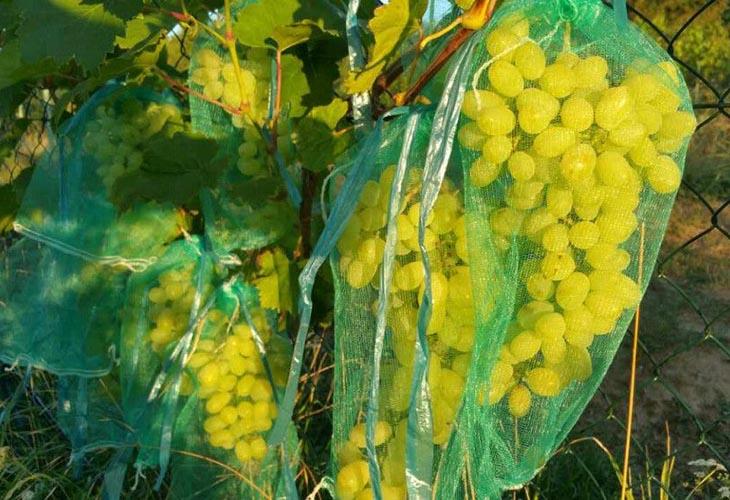 Защита гроздей винограда от насекомых