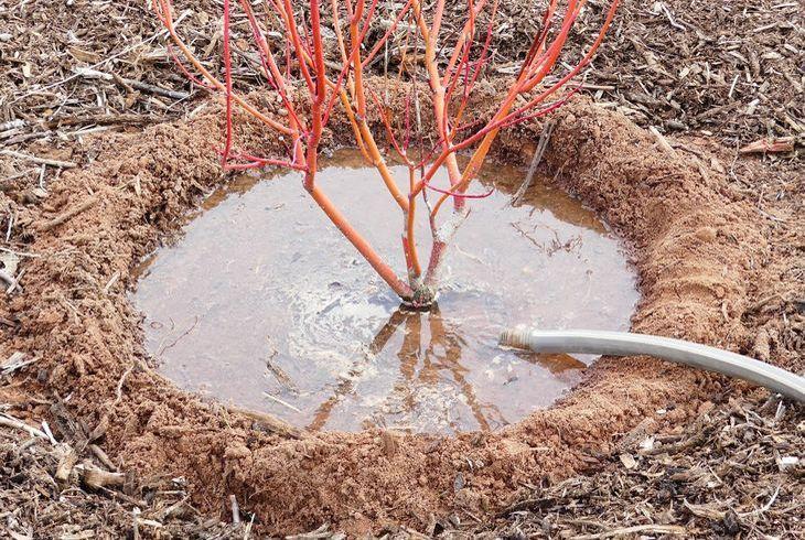 Чашечный полив деревьев