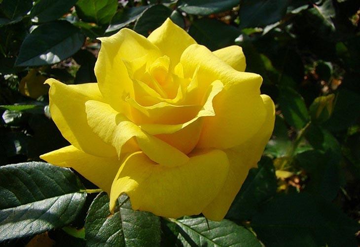 Роза Anthony Meilland