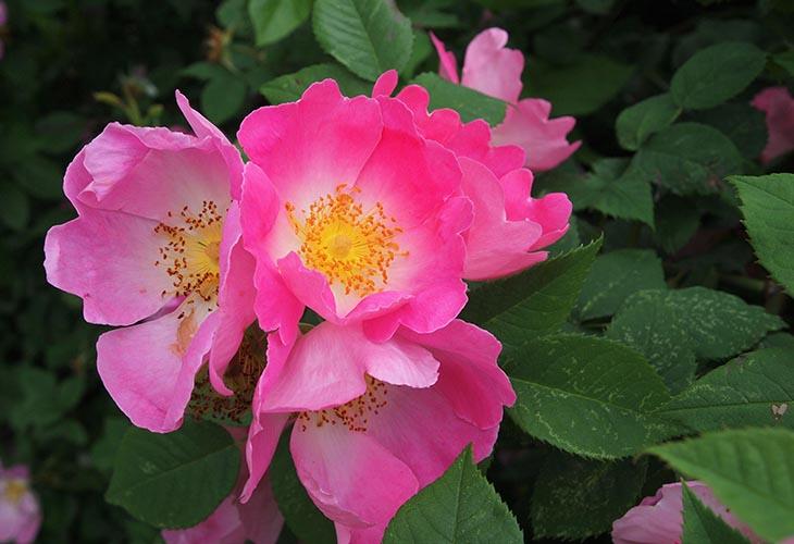 Роза Complicata