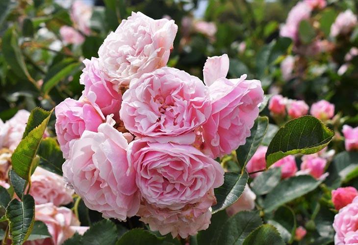 Роза Felicia