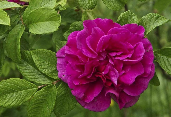 Роза Hansa