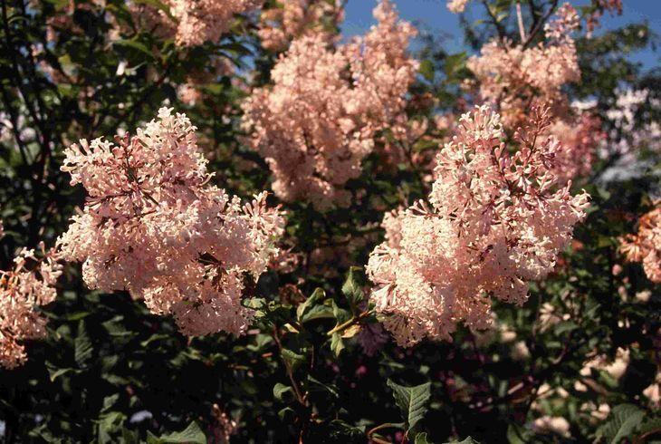 Сирень мохнатая (Syringa villosa)