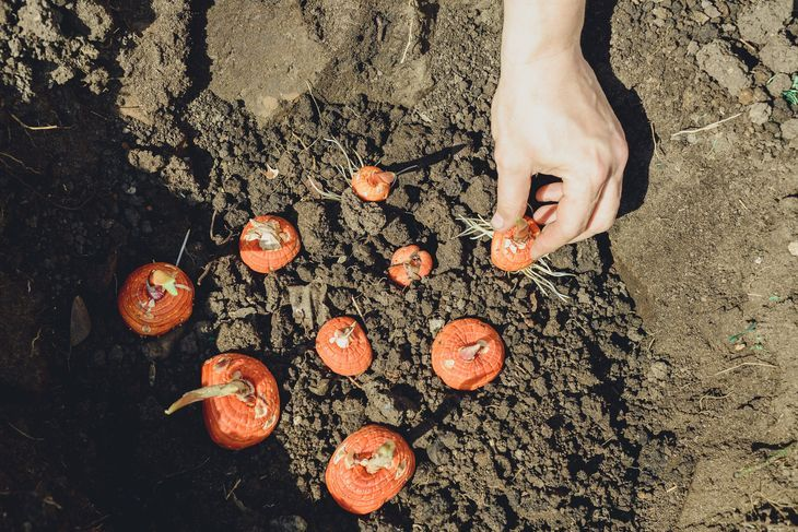 Схема посадки клубней гладиолуса