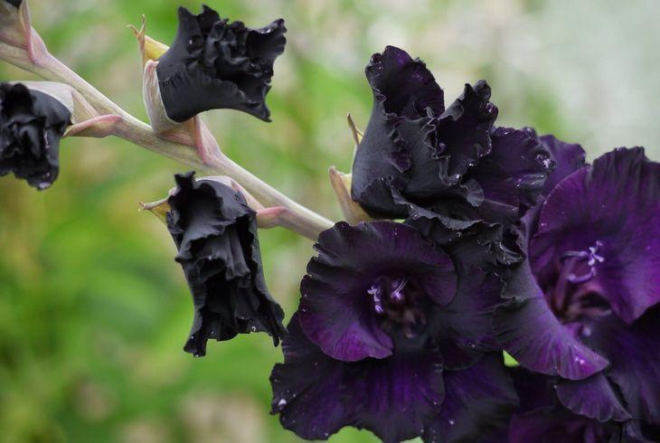 Гладиолус Черный бархат