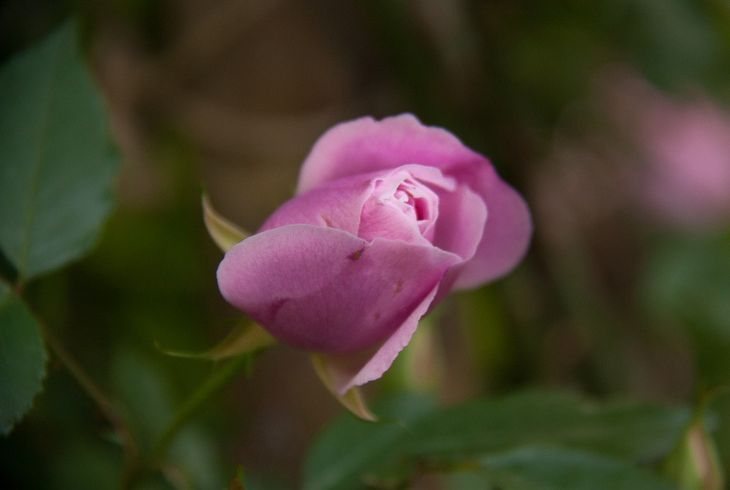 Бенгальская роза (Rosa Bengalensis)
