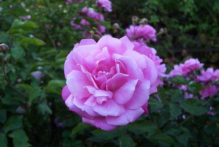 Китайская роза (Rosa Chinensis)