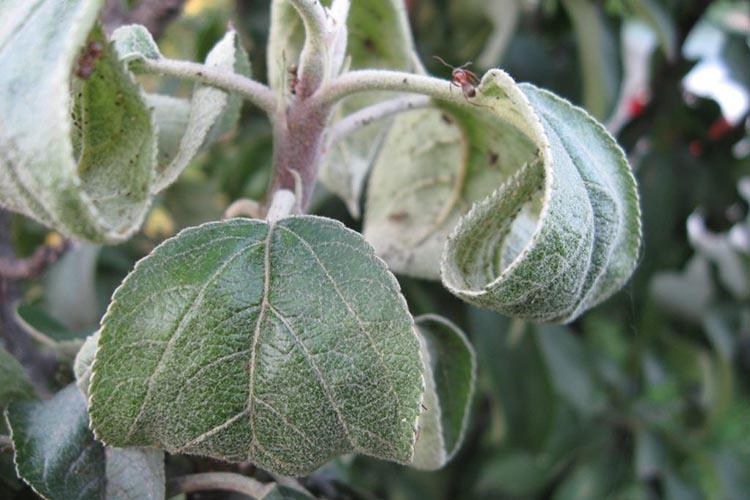 Скручиваются листья у яблони