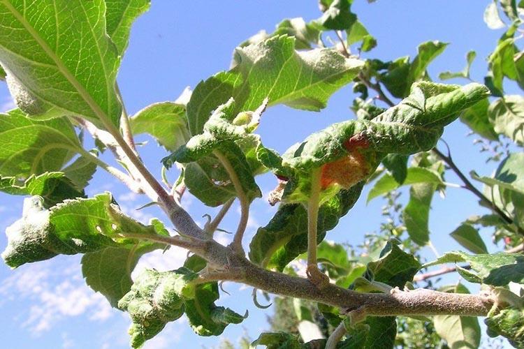 Нехватка влаги яблоне