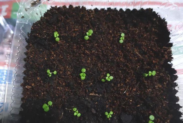 Посев агератума