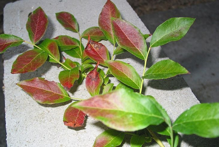 Покраснели листья голубики