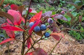 Покраснение листьев голубики