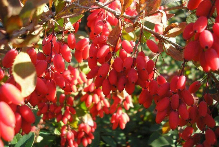 Berberis vulgaris (Обыкновенный)