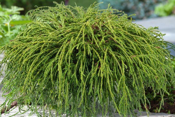 Кипарисовик горохоплодный (Ch. pisifera)