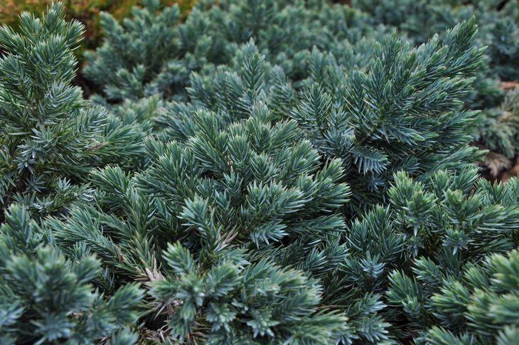 Juníperus squamata