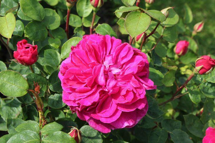Sophy's Rose (Соуфиз Роуз)