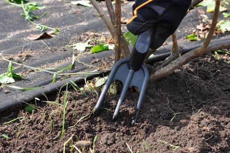 Рыхление земли около смородины