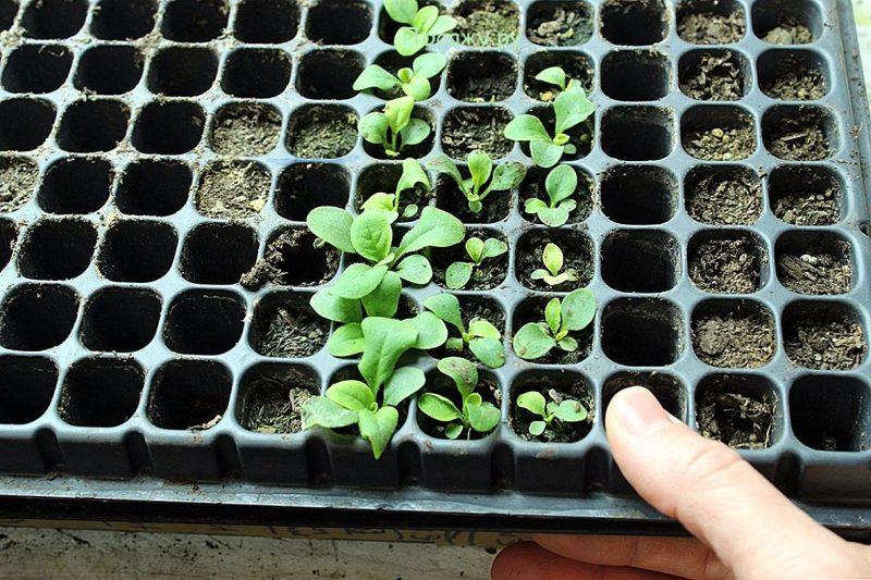 Тонкости выращивания петуний в домашних условиях