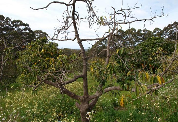 Засыхающее дерево