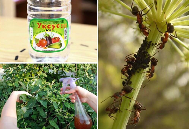 Уксус против насекомых