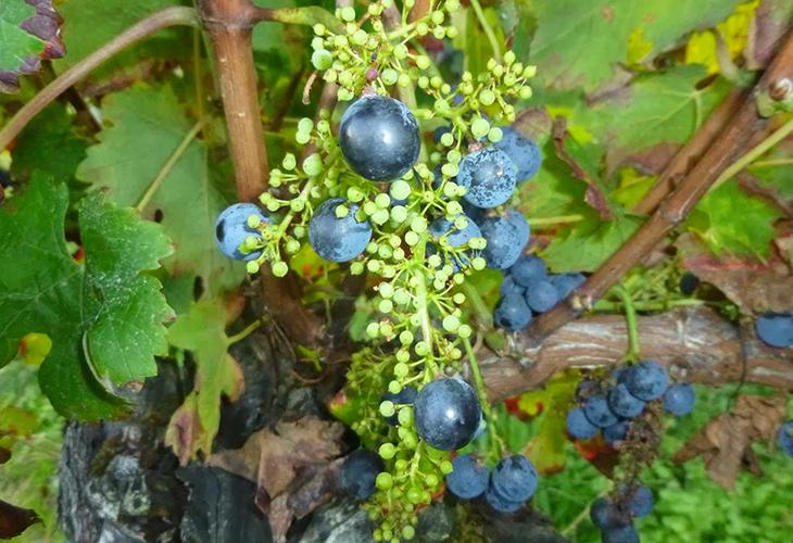 Виноград горошится