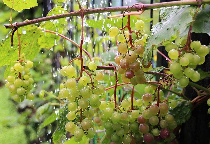 Виноград под дождем
