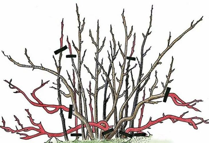 Обрезка ягодных кустарников