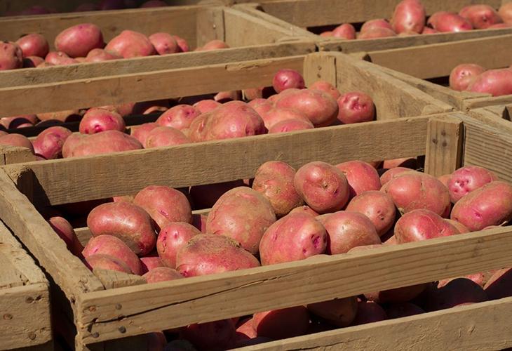 Отсортированные клубни картофеля