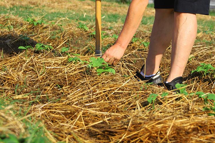 Мульчирование огорода