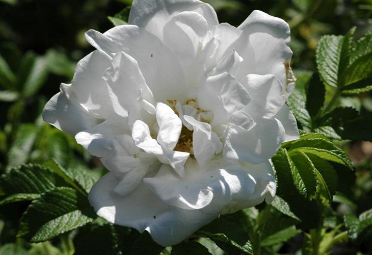 Роза Blanc Double de Coubert