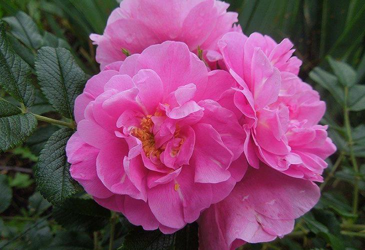Роза Jens Munk
