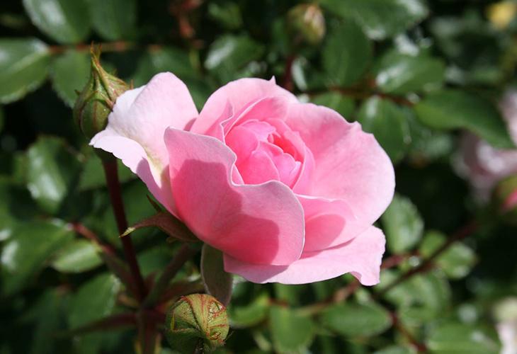 Роза Prairie Dawn