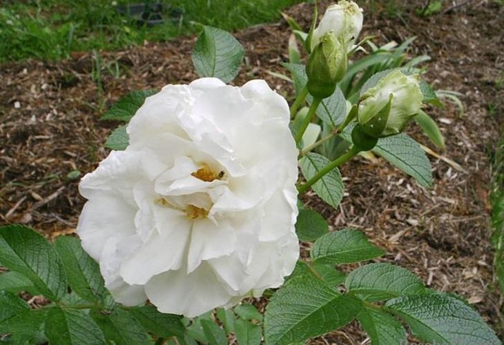 Роза Sir Thomas Lipton