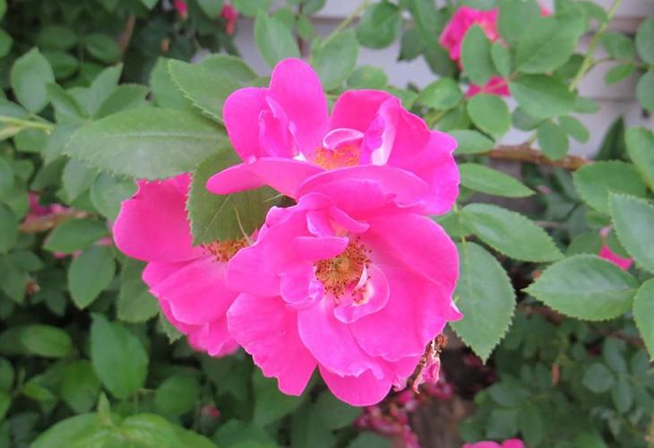 Роза William Baffin
