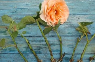Размножения роз