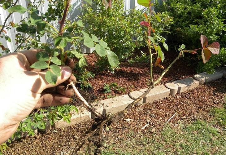 Размножения роз отводками