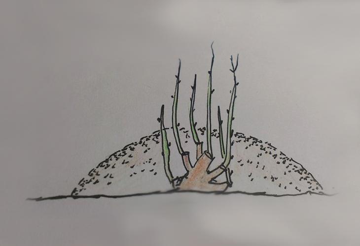 Размножения роз вертикальными отводками
