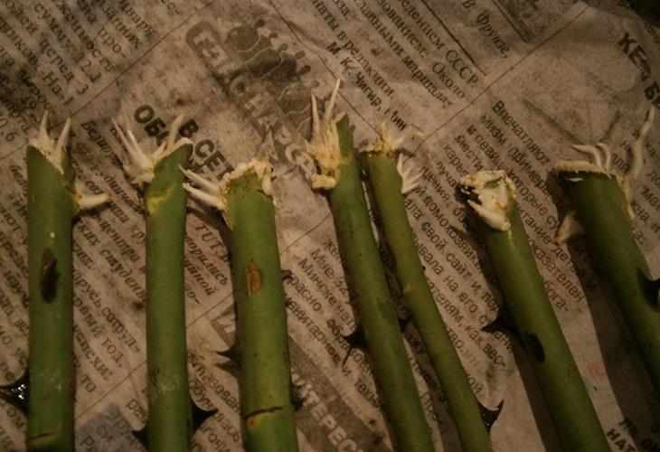 Размножения роз в газете