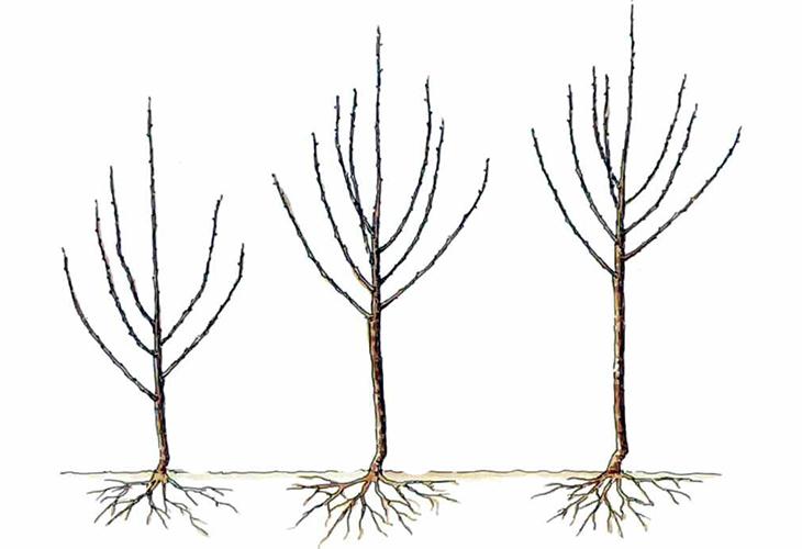 Высота дерева