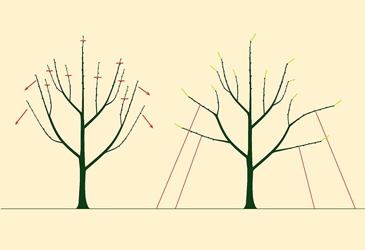 Осенняя обрезка груши от центра к периферии