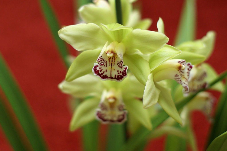 Орхидея Шэньчжэнь Нонгке