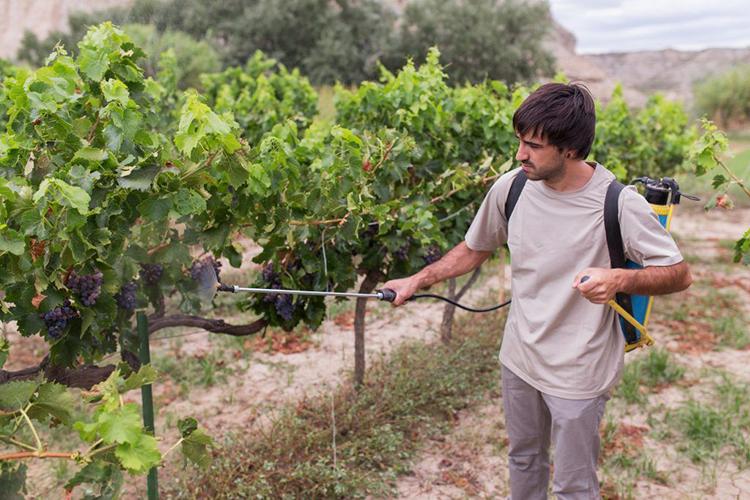 Борная кислота при обработке винограда