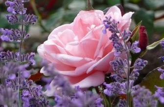 Ароматные цветы для сада