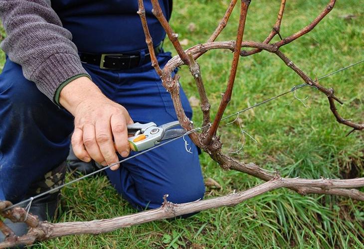Обрезка винограда осенью