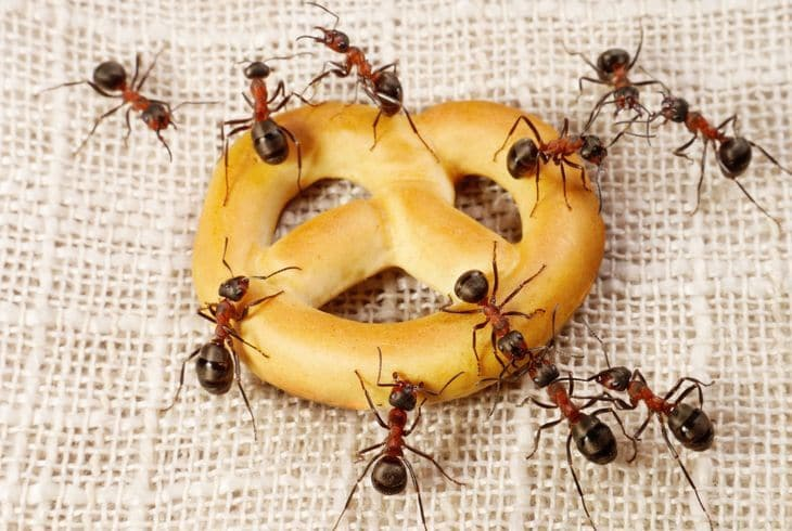 Домовой (фараонов) муравей