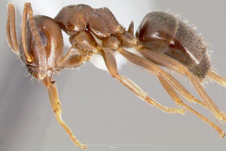 Бурый лазий (Lasius alienus)